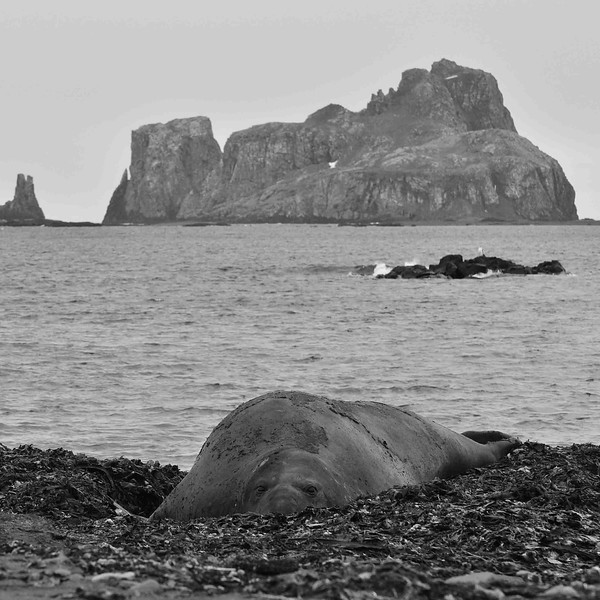 Eléphant de mer Mirounga leonina-Antarctique.JPG