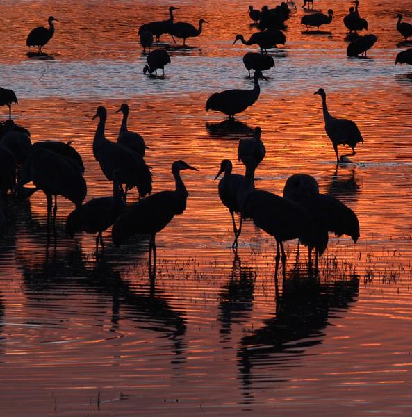 Sandhill Crane silhouettes_0007118.jpg