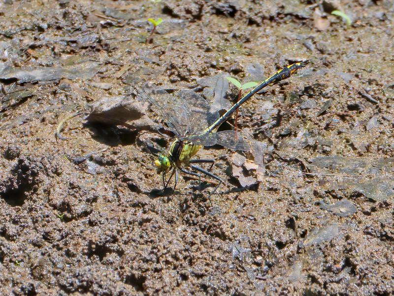 Blackshouldered Spinyleg (Dromogomphus spinosus), male
