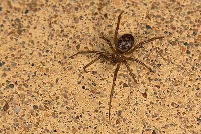 South African Cupboard Spider