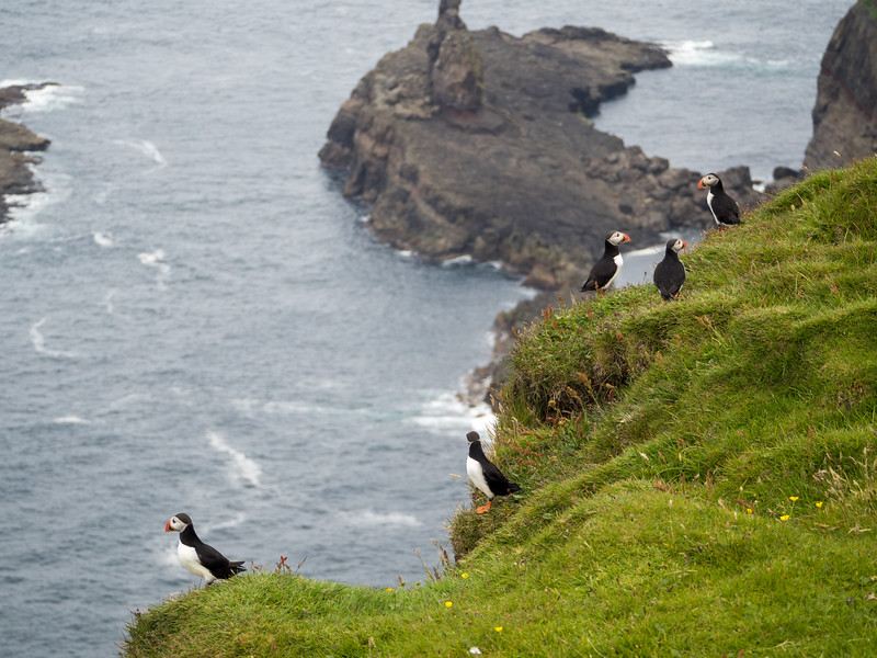 Mykines puffins in the Faroe Islands