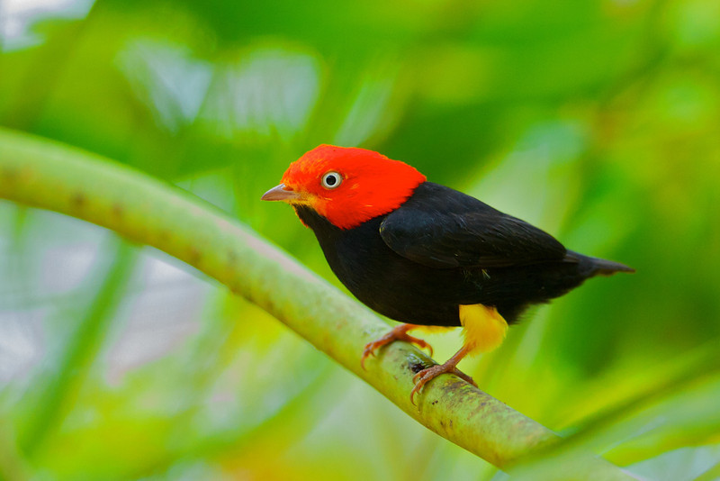 Red-capped Manakin (Pipra mentalis)