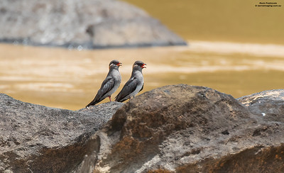 Coursers, Pratincoles Family Glareolidae