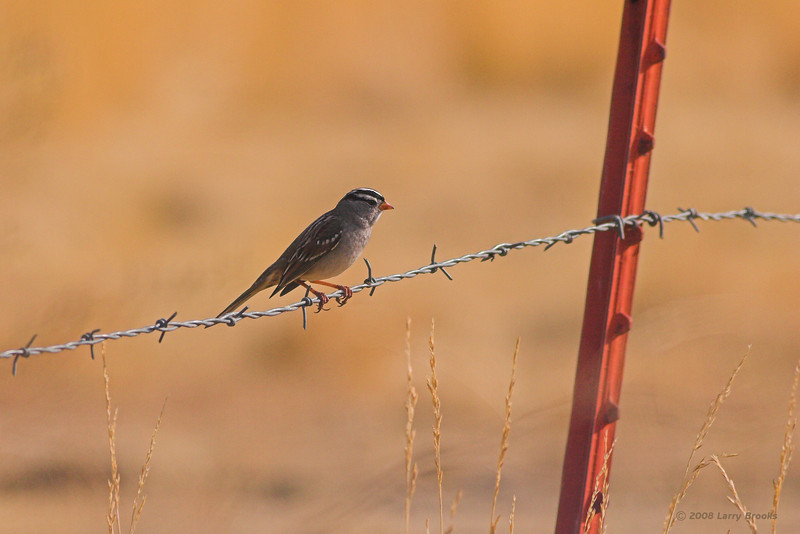 White-crowned sparrow found in central/east Oregon