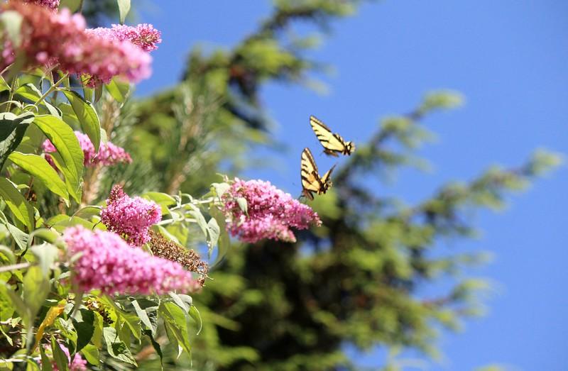 2015-06-26 My Garden and Butterflies 002.JPG