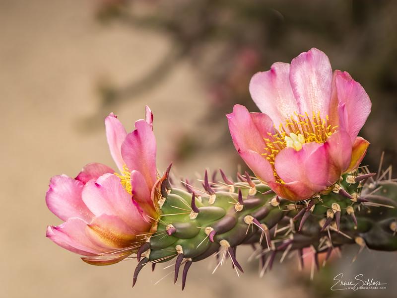 IR Cactus Flowers 2-1-2019h-.jpg