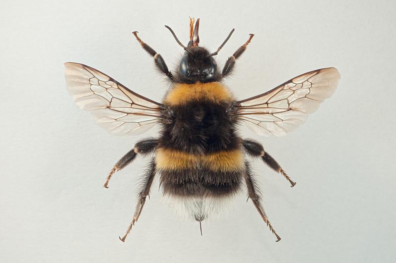 Bombus terrestris -dronning