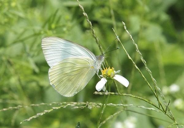 Great Southern White	Ascia monuste