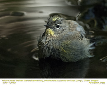 Yellow-rumped Warbler Audubon's M20897.jpg
