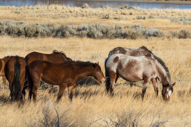 Nevada Mustangs Winter 2020-5.jpg