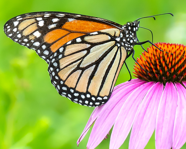 Monarch Butterfly on a Cone Flower