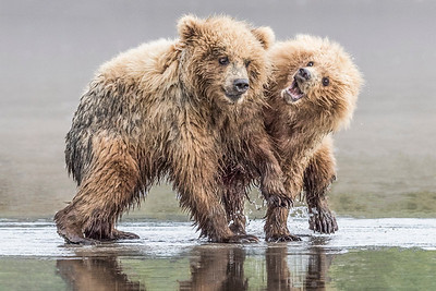 Coastal Brown Bears of Lake Clark NP