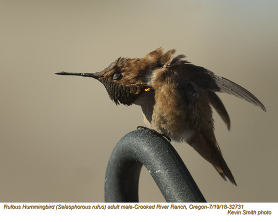 Rufous Hummingbird M32731.jpg