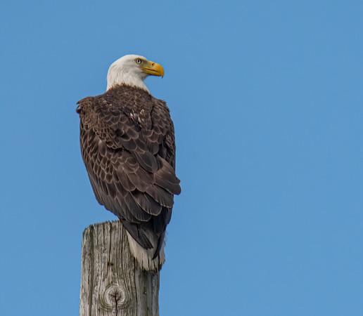 Bald Eagle's Nesting Area - January 31, February 2 & 3, 2021