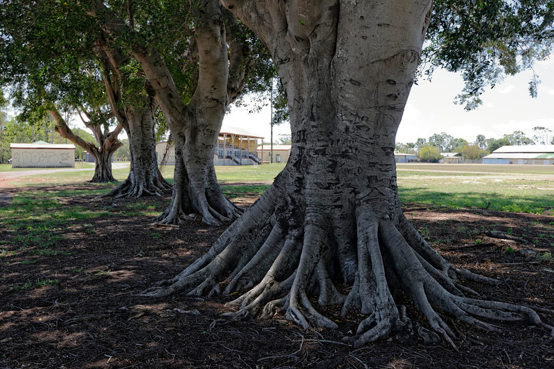 A few of the century plus old Moreton bay Fig trees, that have provided shade for generations of cattle, horses and their attendants, along with some old graffiti, and the grand stand in the background.