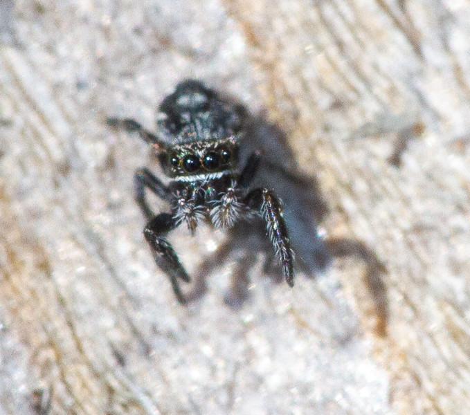 jumping spider Fringed Gentian Bog Sax-Zim Bog MN  IMG_0610.jpg