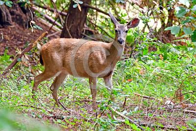 Mule Deer Wildlife Photography