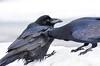 Raven pair grooming