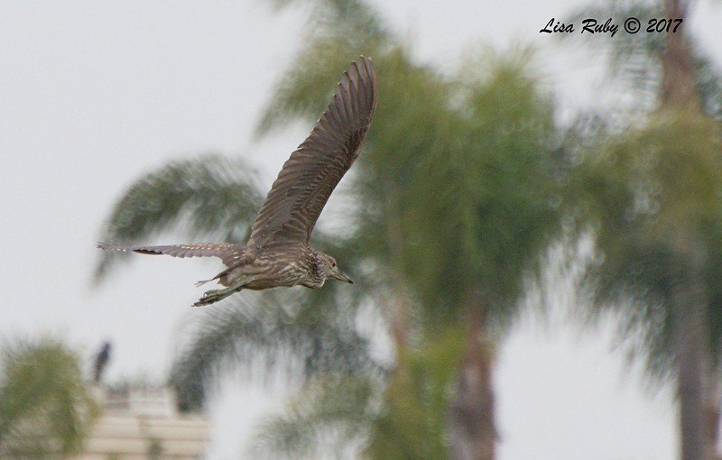 Juvenile Black-crowned Night Heron - 10/10/2017 - Famosa Slough south