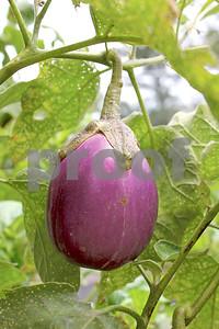 purple-passion-eggplants-summers-royal-harvest