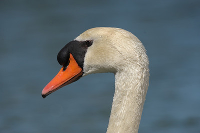 Tundra Swan at Redwood Shores, CA