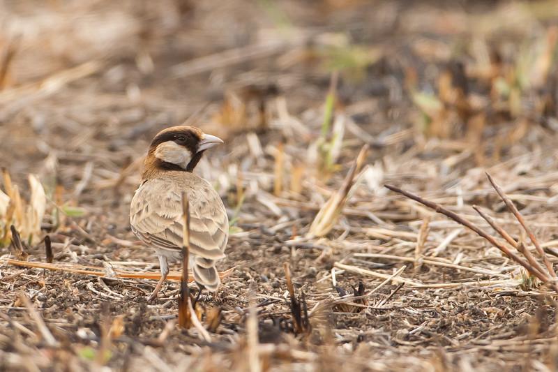 Fischer's Sparrow-Lark - Tarangire National Park, Tanzania