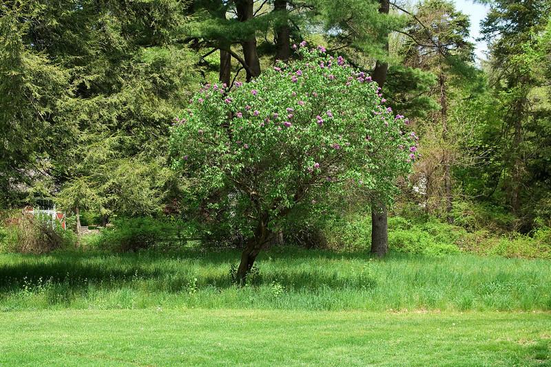 Lilacs in the Field 2.jpg