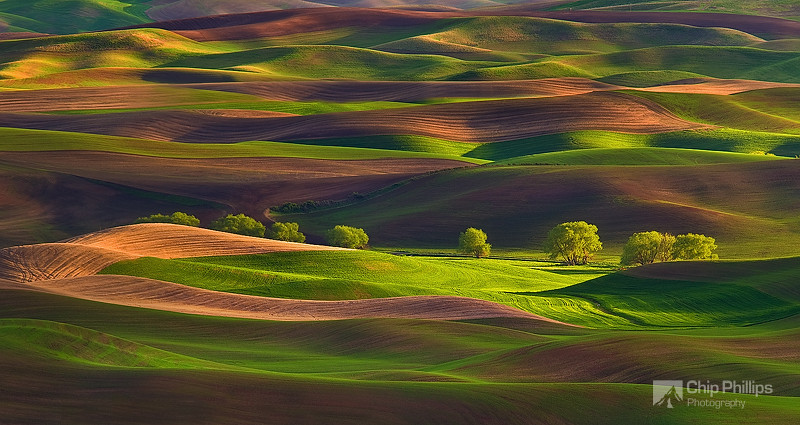 """""""Row of Trees Palouse""""  A softly lit row of trees in the Palouse shot just before sunset in early spring from Steptoe Butte."""