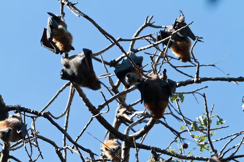 Sydney Botanical Gardens - Bats!