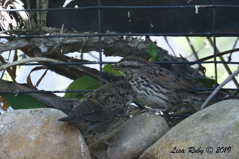Parent and juvenile Song Sparrows - 4/17/2019  -  Backyard Sabre Springs