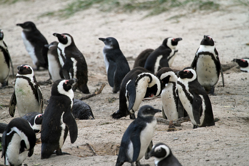 African penguin colony, Simon's Town