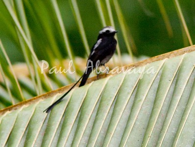 Long-tail Flycatcher