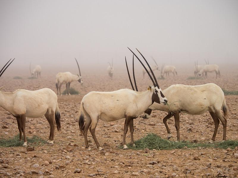 Arabian Oryx (87).jpg