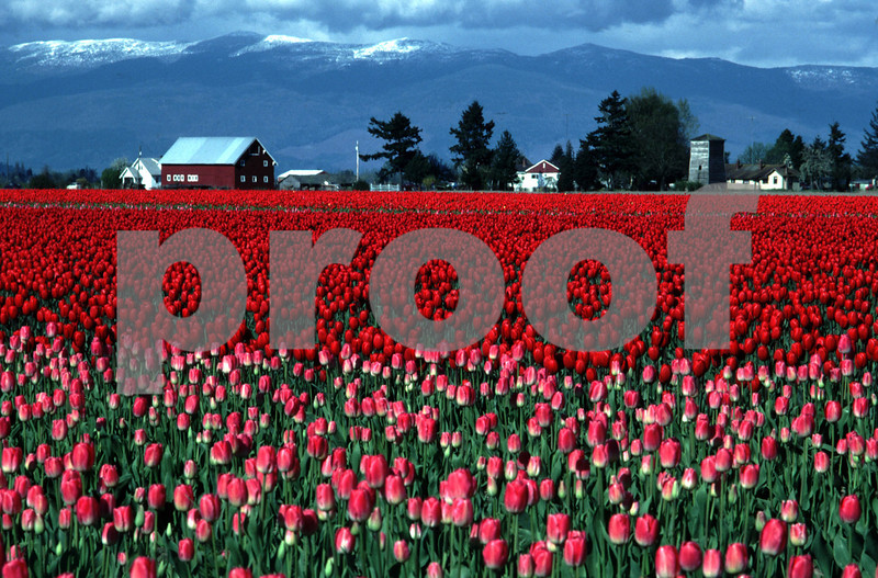 Commercial tulip fields near Mt. Vernon, WA in April with fresh snow in the foothills of the Cascade Mountain Range.
