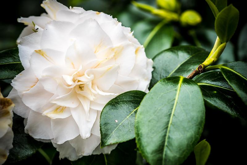 Camellia 'Junior Prom'