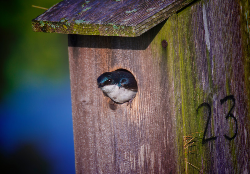 6.3.17 - Beaver Lake Fish Nursery: Tree Swallow