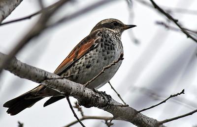 Local Birds, Kishiwada, January, 2014 (2)