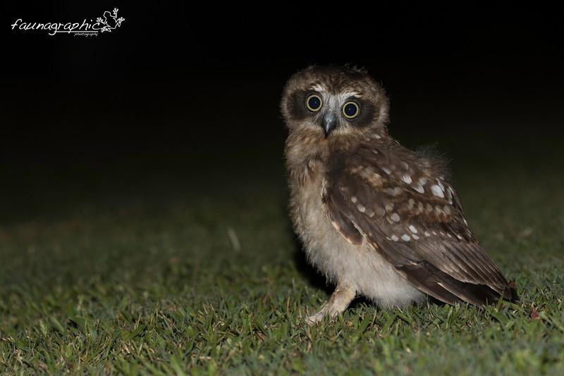 Juvenile Southern Boobook Owl