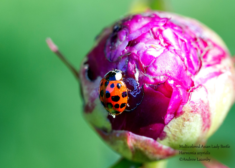 Asian Lady Beetle.jpg