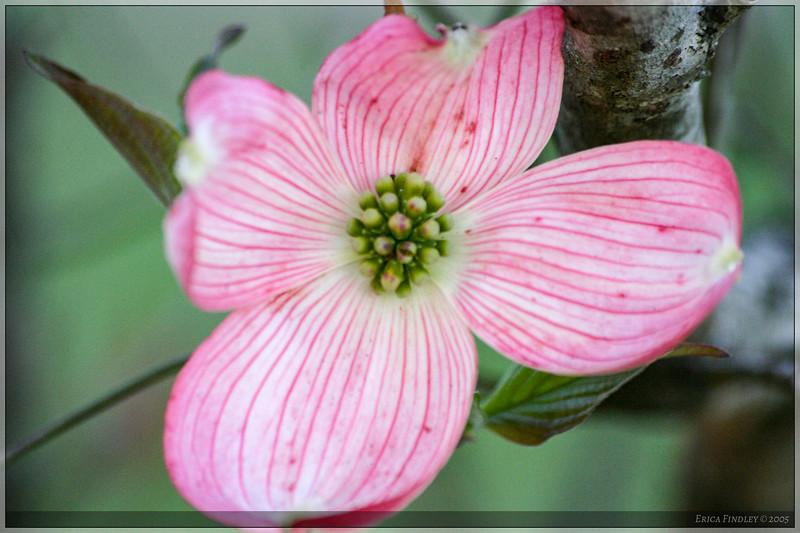 PinkDogwood_02.jpg