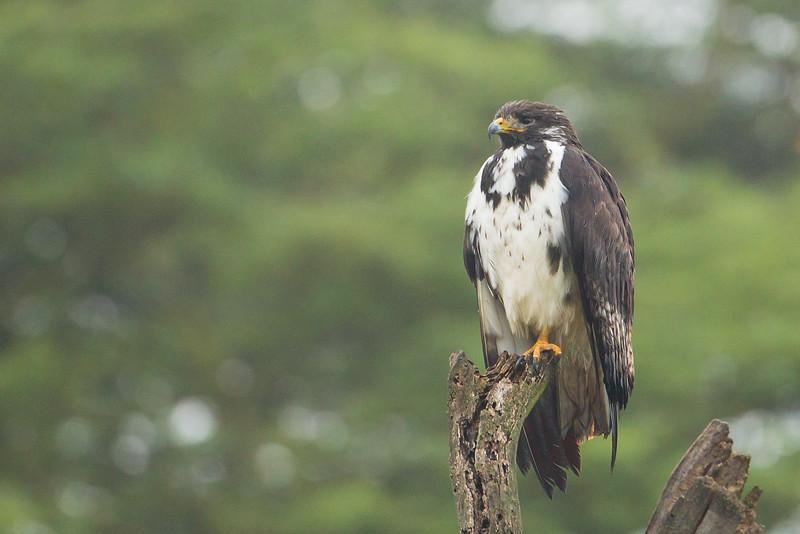 Augur Buzzard - Lake Nakuru National Park, Kenya
