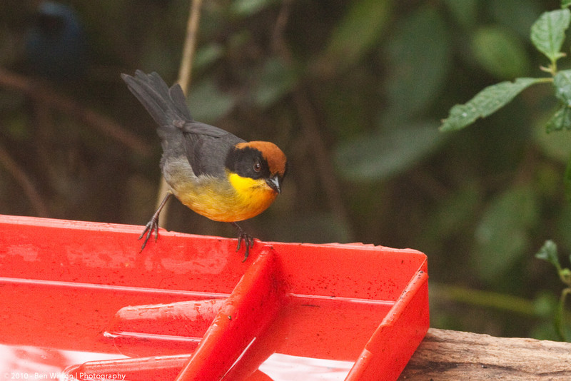 Rufous-naped Brush-Finch or Yellow-breasted Brush-Finch