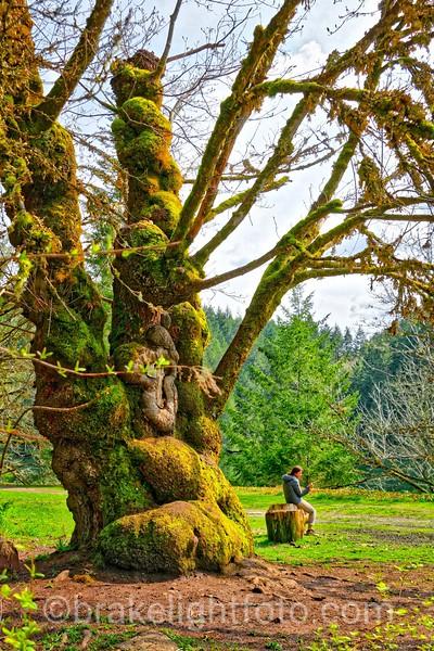 Giant Leaf Maple Tree