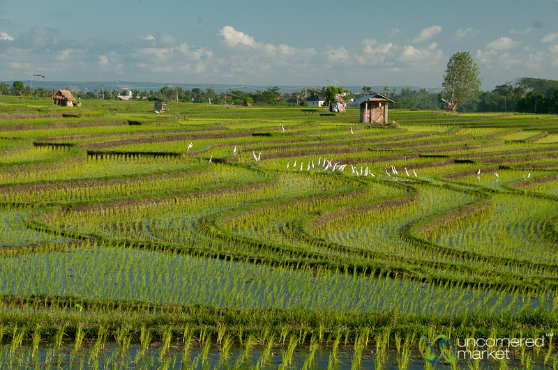 Terraced Rice Fields - Bali, Indonesia