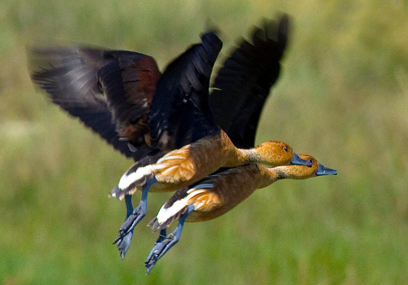 threefulvouswhistlingducksinflight.jpg