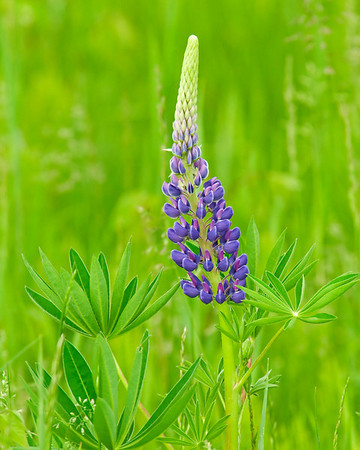 Lupine - Port Wing, WI-04
