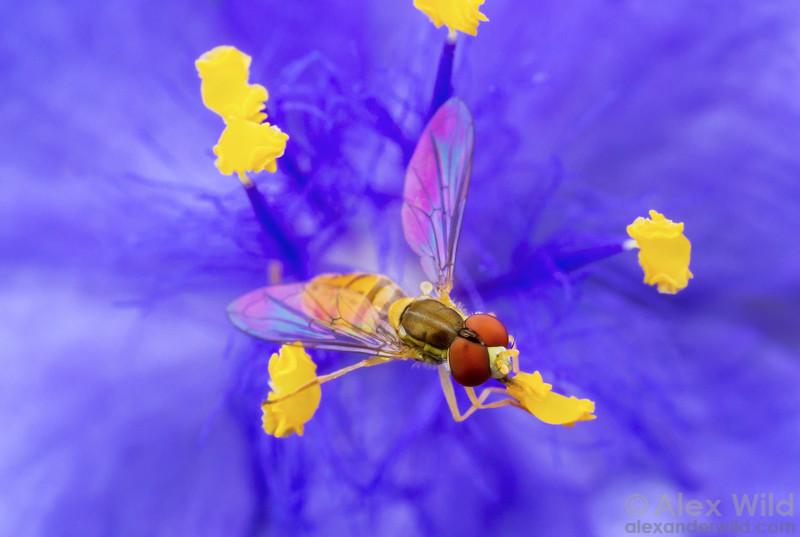 Toxomerus marginatus (Syrphidae) - hover fly visiting a spiderwort flower.  Urbana, Illinois, USA
