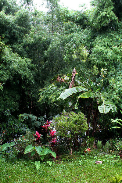 "A slice of Boosaba's garden in the rain. In this image there are: bamboo (we eat the shoots), banana, lemon grass, turmeric, มะกลำ่ (Adenanthera pavonina, ""red sandalwood""); กระถิน (Leucaena glauca, ""white popinac""); บอน (บอนส้ม - Homalomena rostrata, a taro-like Araceae); and พริกขี้หนู (Capsicum frutescens, ""Thai chiles"")."