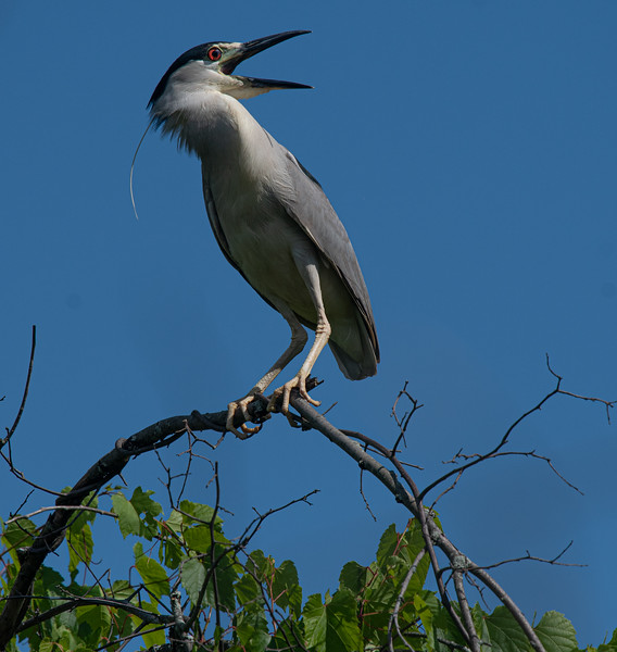 _5006822 Black-crowned Night Heron turned to squawk.jpg