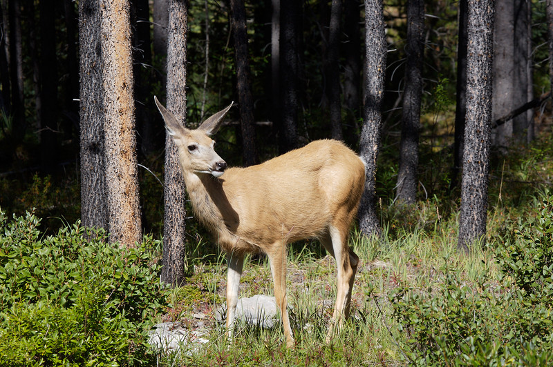 A white tail deer on the road near Maligne Lake